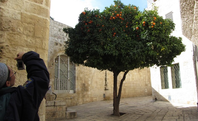 """orange tree"" image , Tu Bishvat , TU Beshvat image"