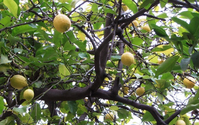 lemons on tree image
