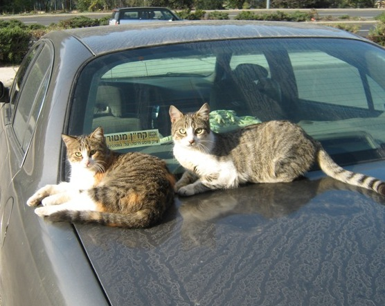 two cats on a car image