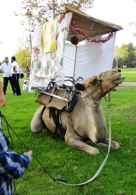 sukkah on camel