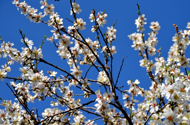 photo almond blossoms, Jerusalem photo tour