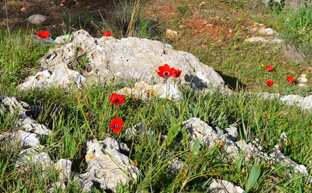 Anemones photo, red flowers, Jerusalem photo walk