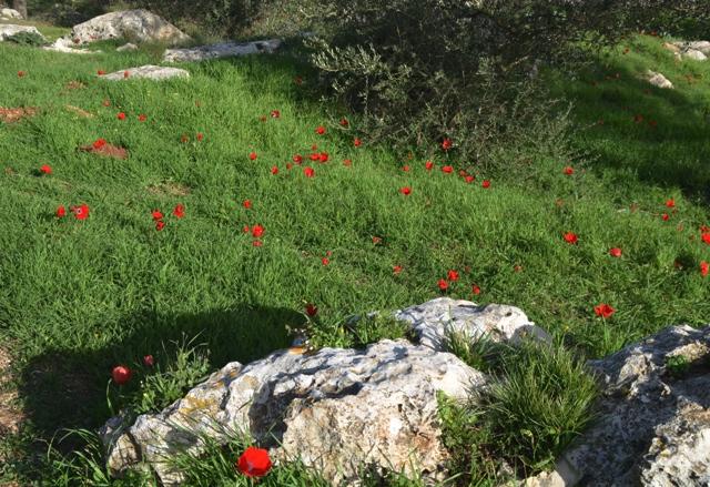 Red flower photo, Jerusalem nature photo